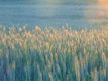 Macro foto con fondo rurale decorativo con struttura delle orecchie del grano nel tramonto Fotografia Stock Libera da Diritti