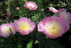 Macro foto con i bei doppi fiori di Bush delle peonie con i petali delle tonalità rosa al sole Immagine Stock