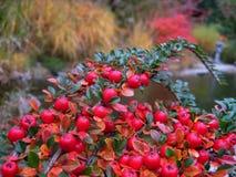 Macro foto con i mazzi abbondanti delle bacche rosse di autunno su fondo vago dello stagno del parco Fotografia Stock