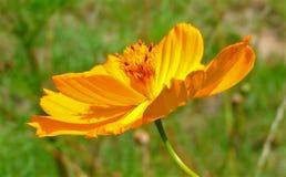 Macro foto con i petali arancio luminosi di un fondo decorativo di struttura delle margherite del giardino floreale Fotografia Stock