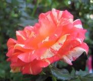 Macro foto con i petali rosa luminosi di una struttura decorativa del fondo di bello fiore delle rose Fotografie Stock Libere da Diritti
