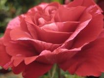 Macro foto con i petali rossi luminosi di una struttura decorativa del fondo di bello fiore delle rose Immagine Stock