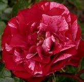 Macro foto con i petali rossi luminosi di una struttura decorativa del fondo di bello fiore delle rose Immagini Stock