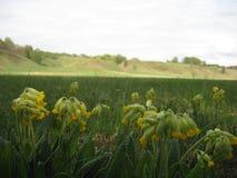 Macro foto con il fondo decorativo del paesaggio delle colline storiche e dei fiori commestibili medicinali selvaggi della forest immagini stock libere da diritti
