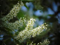 Macro foto con le spazzole decorative di struttura del fondo di bei piccoli fiori bianchi su un ramo di un albero di un ciliegio Fotografia Stock Libera da Diritti