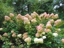 Macro foto con struttura decorativa del fondo di bei fiori sui rami delle piante perenni dell'ortensia dell'arbusto Immagine Stock