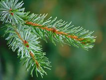Macro foto con una struttura decorativa del fondo dei rami dell'albero dell'albero forestale con gli aghi verdi Immagine Stock