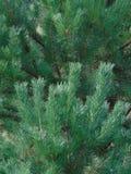 Macro foto con una struttura decorativa del fondo dei rami dell'albero dell'albero forestale con gli aghi verdi Immagini Stock Libere da Diritti