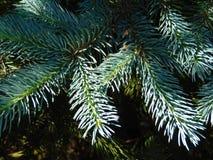 Macro foto con una struttura decorativa del fondo dei rami dell'albero dell'albero forestale con gli aghi verdi Fotografia Stock Libera da Diritti