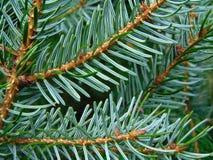 Macro foto con una struttura decorativa del fondo dei rami dell'albero dell'albero forestale con gli aghi verdi Immagine Stock Libera da Diritti