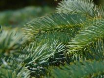 Macro foto con una struttura decorativa del fondo dei rami dell'albero dell'albero forestale con gli aghi verdi Fotografia Stock