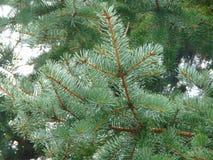 Macro foto con una struttura decorativa del fondo dei rami dell'albero dell'albero forestale con gli aghi verdi Fotografie Stock