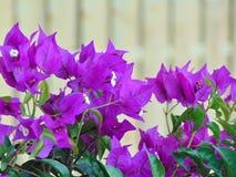 Macro foto con una struttura decorativa del fondo della buganvillea decorativa arricciata delle piante tropicali Immagine Stock Libera da Diritti