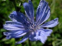 Macro foto con una struttura decorativa del fondo delle piante selvatiche medicinali dei petali dei fiori del 'chi' Fotografia Stock Libera da Diritti