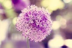 Macro foto dei fiori dell'allium Immagine Stock Libera da Diritti