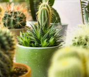 Macro foto dei succulenti Piante del deserto in piccole piante Succul Fotografia Stock
