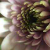 Macro foto del fiore di colore rosa porpora Fotografie Stock