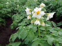 Macro foto del fiore di fioritura della patata Fotografie Stock
