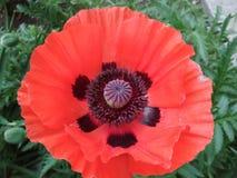 Macro foto del fiore di fioritura del papavero immagine stock