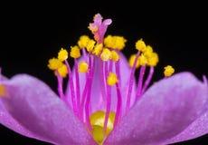 Macro foto del fiore porpora minuscolo con polline giallo isolato su fondo nero, fuoco selettivo immagine stock libera da diritti