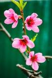 Macro foto del fiore rosa delle albicocche immagini stock