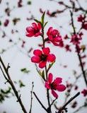 Macro foto del fiore rosa delle albicocche immagine stock