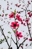 Macro foto del fiore rosa delle albicocche fotografia stock libera da diritti