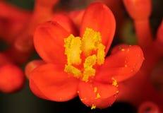 Macro foto del fiore rosso minuscolo con polline giallo, fuoco selettivo fotografie stock