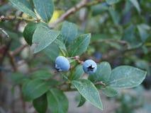 Macro foto del giardino bluberry domestico fotografie stock