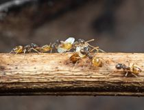 Macro foto del gruppo di formiche minuscole che portano le pupe e che corrono sul bastone, concetto di lavoro di squadra immagini stock