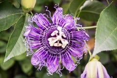 Macro foto del incarnata della passiflora, scena naturale Fotografia Stock