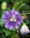 Macro foto del incarnata in giardino botanico, s naturale della passiflora Fotografia Stock Libera da Diritti