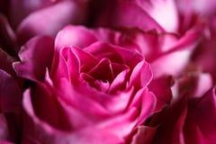 Macro foto del primo piano del mazzo delle rose immagini stock libere da diritti