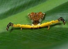 Macro foto del ragno bizzarro del granchio sulla foglia del Philodendron fotografia stock libera da diritti