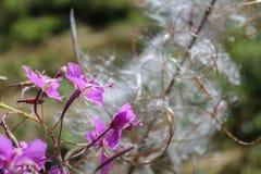 Macro foto della lanugine del fiore con il petalo nella parte anteriore fotografie stock