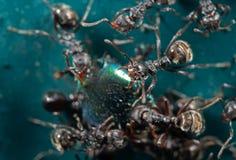 Macro foto della testa del giardino nero aggressivo Ant Isolated sul G immagine stock