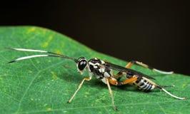 Macro foto della vespa del Ichneumon con le antenne in bianco e nero sul G immagine stock