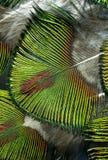 Macro foto delle piume verdi variopinte del pavone Fotografia Stock