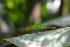 Macro foto di grande locusta verde con i baffi lunghi su una foglia verde alla luce solare con un fondo vago fotografia stock libera da diritti