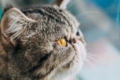 Macro foto di Shorthair della razza esotica del gatto testa del gatto del primo piano con l'occhio arancio fotografia stock libera da diritti