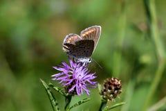 Macro foto di un marrone e di una farfalla arancio fotografia stock libera da diritti
