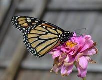Macro foto di una farfalla bianca e nera dell'arancia, di monarca su un fiore rosa di morte fotografia stock libera da diritti