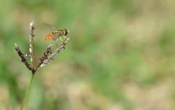 Macro foto di una mosca arancio e nera del fiore su un'erbaccia fotografie stock libere da diritti