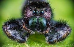 Macro foto estrema di un ragno di salto Fotografia Stock
