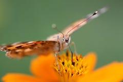 Macro foto van een vlinder op een bloem Stock Afbeeldingen