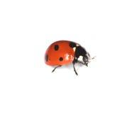 Macro foto van Onzelieveheersbeestje dat op wit wordt geïsoleerde stock fotografie