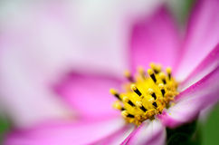 Macro foto van Roze Kosmos. Stock Afbeeldingen