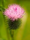 Macro-fotografia de uma flor do cardo Foto de Stock Royalty Free