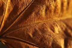 Macro fotografia della foglia dorata Immagini Stock