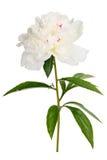 Macro fotografiada aislada en el Paeonia blanco de la flor del fondo Foto de archivo